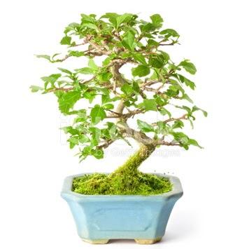S zerkova bonsai kısa süreliğine  En güzel hediye