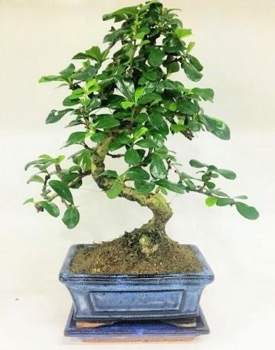 S Bonsai japon ağacı bitkisi  Anneme hediye