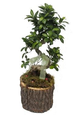 Doğal kütükte bonsai saksı bitkisi  En güzel hediye