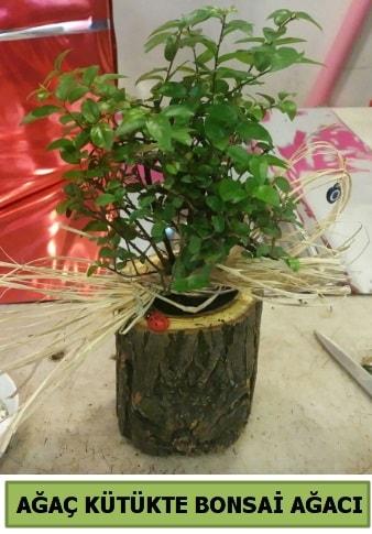 Doğal ağaç kütük içerisinde bonsai ağacı  14 şubat sevgililer günü hediye